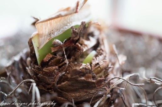 amaryllis-just-peaking-thru-finally-2