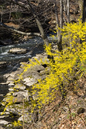 Bronx River with Forsythia