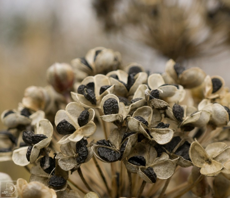 allium-seed-heads_22240214943_o