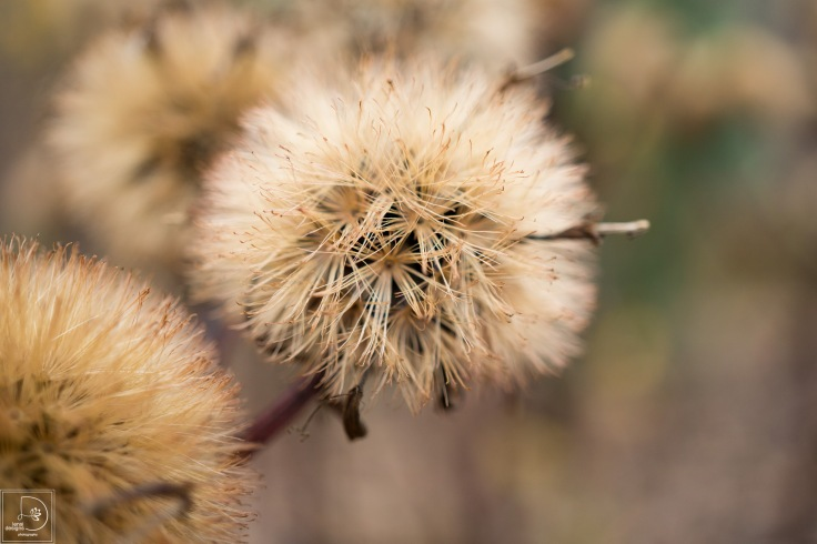 ligularia-seed-heads_22443028028_o