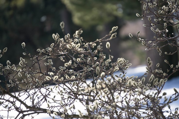 magnolia-blossoms-glowing_16080581303_o